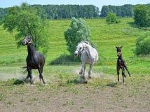 Stado konie biega cwałowanie przez łąkę fotografia stock
