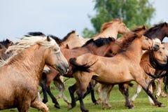 Stado konie biega w segreguje Zdjęcie Stock