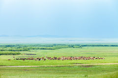 Stado konie na Ulagai stepu regionie Zdjęcia Stock