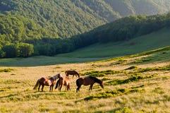 Stado konie pasa na halnych łąkach Carpathians, Ukr Fotografia Stock