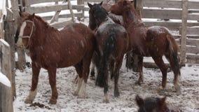Stado konie pod śniegiem przy gospodarstwem rolnym przy zimną zimą zbiory