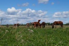 Stado konie shiners Naturе zdjęcia royalty free