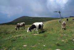 Stado krowy Obraz Royalty Free