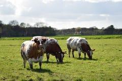Stado krowy Obrazy Stock