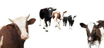 Stado krowy Fotografia Stock