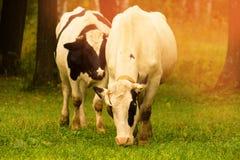 Stado krowy Obrazy Royalty Free