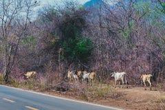 Stado krowy chodzi dla jedzenia na stronie droga obraz royalty free