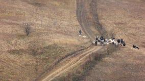 Stado krowy chodzi na łące w jesieni zbiory