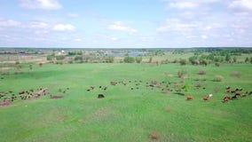 Stado krowy i cakle na zielonym łąkowym niebo widoku zdjęcie wideo