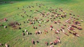 Stado krowy i cakle na zielonym ??kowym niebo widoku zdjęcie wideo