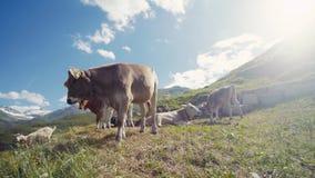 Stado krowy, koźli pasanie i relaksować na Alpejskiej łące, jeden Alpejskie krów próby przychodzić bliżej do zbiory