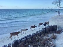 Stado krowy na plaży zanzibar Obraz Royalty Free