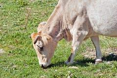 Stado krowy pasa blisko błękitnego jeziora Fotografia Stock