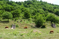 Stado krowy pasa na zielonym paśniku zdjęcia royalty free