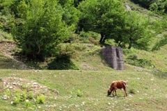 Stado krowy pasa na zielonym paśniku w Kaukaskich górach obraz royalty free