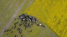 Stado krowy posesa na ?r?dpolnym widoku od trutnia zdjęcia royalty free