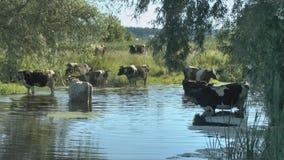 Stado krowy przy podlewania miejscem blisko rzeki zbiory wideo
