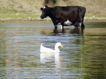 Stado krowy przychodził napój rzeka fotografia stock