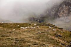 Stado krowy w halnym paśniku Zdjęcia Royalty Free