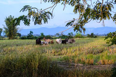 Stado krowy w paśniku Zdjęcie Royalty Free