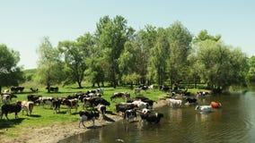 Stado krowy w rzece na podlewania miejscu zbiory wideo
