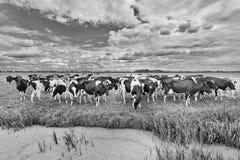 Stado krowy w szerokiej łące z dramatycznymi chmurami i stawem, holandie obrazy stock