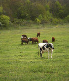 stado krów Zdjęcia Royalty Free