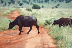 Stado krzyżuje drogę gruntową w Taita wzgórzy przyrody sanktuarium bizon, Voi, Kenja Zdjęcie Stock