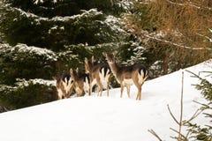 Stado młoda królica, żeńska jelenia pozycja w śnieżnym lasowym durin Zdjęcie Royalty Free