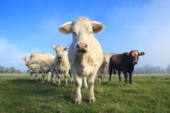 Stado młode białe krowy Zdjęcia Stock