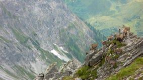 Stado młodej wysokogórskiej koziorożec halne kózki na strzępiastym skalistym halnym szczycie w Szwajcarskich Alps obrazy stock