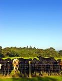 Stado męskie krowy Obrazy Stock
