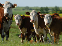 stado mleka krowiego Obraz Royalty Free