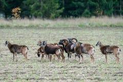 Stado muflon barania pozycja w polu obrazy stock