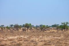 Stado Oryx gazela, Botswana, południowy Afryka Zdjęcia Stock
