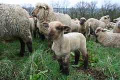 stado owiec fotografia royalty free