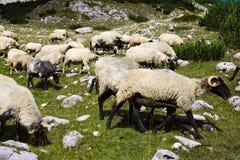 Stado pasa na skalistej góry łące barany zdjęcie stock