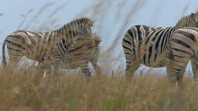 Stado pasiaste zebry na złotym gazonie w lecie w mo zbiory wideo