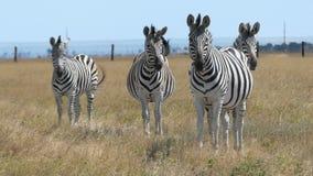 Stado pasiasty zebry spojrzenie naprzód na dojrzałym gazonie w mo zdjęcie wideo