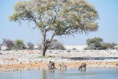Stado pije od Okaukuejo waterhole kudu Przyroda safari w Etosha parku narodowym, majestatyczny podróży miejsce przeznaczenia w Na Fotografia Royalty Free