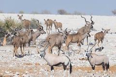 Stado pije od Okaukuejo waterhole kudu Przyroda safari w Etosha parku narodowym, majestatyczny podróży miejsce przeznaczenia w Na Obrazy Stock