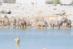 Stado pije od Okaukuejo waterhole kudu Przyroda safari w Etosha parku narodowym, majestatyczny podróży miejsce przeznaczenia w Na Obrazy Royalty Free