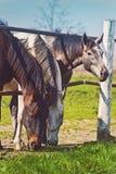 Stado Piękni Młodzi konie Pasa na Rolnym rancho Obrazy Stock
