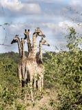 Stado południe - afrykański żyrafy Giraffa giraffa giraffa, Chobe park narodowy, Botswana obrazy stock