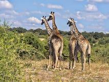 Stado południe - afrykański żyrafy Giraffa giraffa giraffa, Chobe park narodowy, Botswana zdjęcie stock