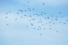 stado ptaka obrazy royalty free