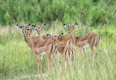 Stado raźny żeński impala w Botswana zdjęcia royalty free