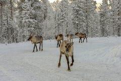 Stado renifer w za dzikim Forrest fotografia royalty free