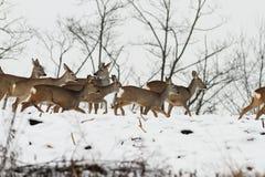 Stado roe deers w chmurzącym zima dniu Zdjęcia Royalty Free