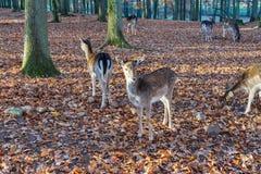 Stado rogacze w jesiennym lesie zdjęcia stock